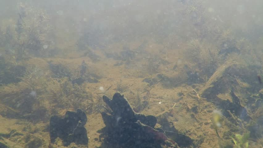 A Newt swims in a forest lake seen in an underwater view.