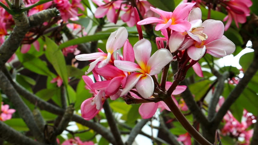 Plumeria Flower Close Up Beautiful Asian Stock Footage Video 100