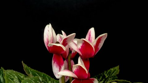 Cyclamen flowering plant growing, blooming and blossoming time lapse video/Cyclamen flower blossoming timelapse