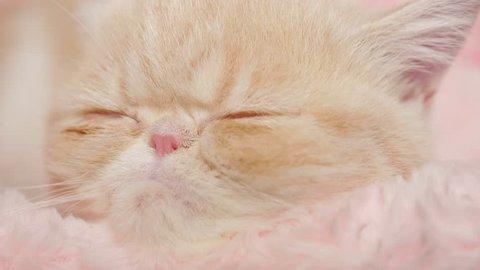 Sleepy Exotic Shorthair Kitten
