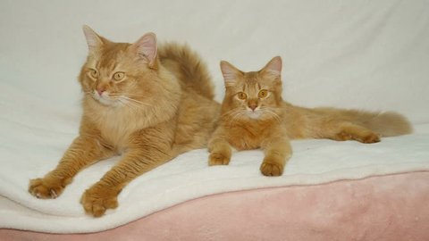 Two Somali Cats relaxing on the sofa