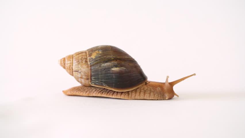 A brown garden snail on a white background | Shutterstock HD Video #1011084410