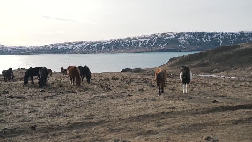 Icelandic horses graze near lake.