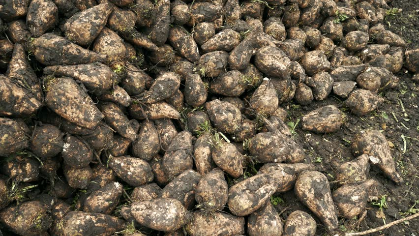 Farmers harvest sugar beet in a country field. Fresh sugar beets on the field farm after dug out from the ground
