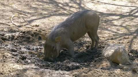 Warthog is digging the earth in the African savannah, spreading the soil in different directions. African Wild Pig - Warthog. Wild African Warthogs rooting for food.