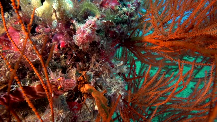 Warty frogfish (Clown anglerfish), Antennarius maculatusin the corals in Zulu sea Dumaguete Philippines.
