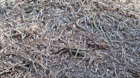 Ants on anthill. Formica rufa