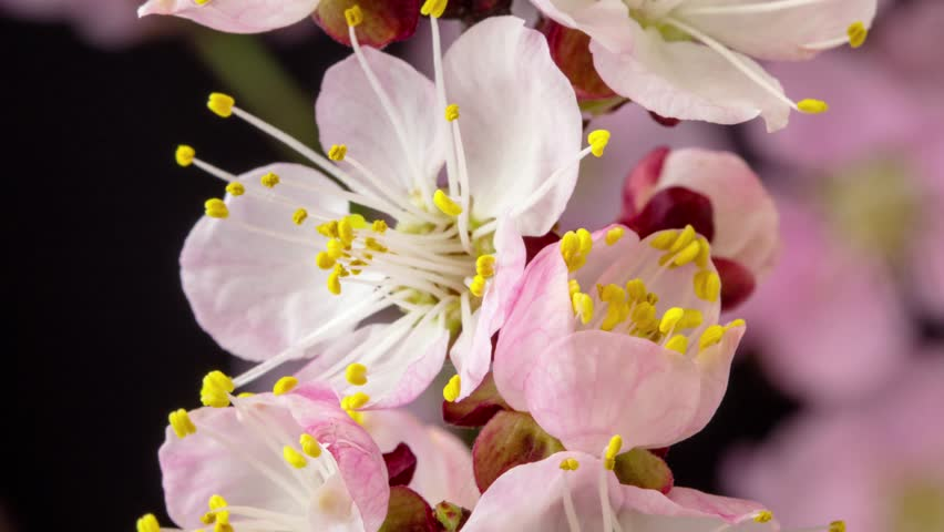 4k macro moving and rotating dolly time lapse video of a pink peach flower growing, blooming and blossoming on a dark background/Pink peach fruit tree flower blossom and bloom time lapse