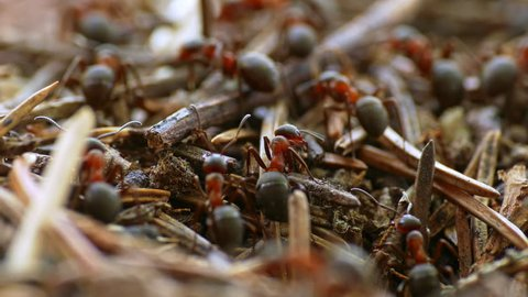 Ants nest. Fire ants crawling on the ant hill in the woods. (av25174c)