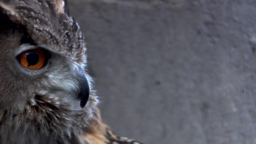 Close-up of an Eurasian eagle owl looking at the camera #1011200930