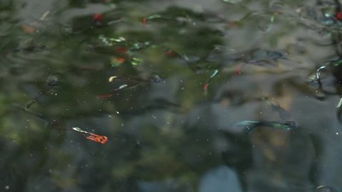 A school of guppy swimming near the surface of clear water.