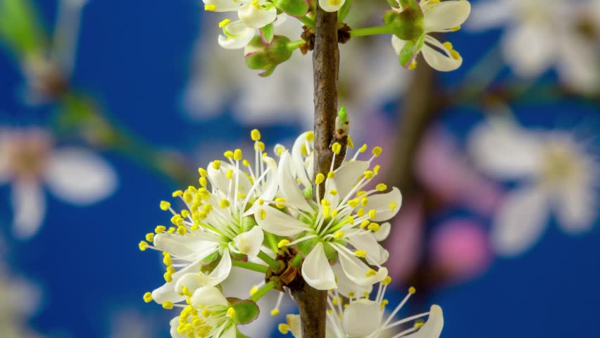 4k macro dolly timelapse of a wild plum fruit flower growing, blooming and blossoming on a blue background/Wild plum flower blossom time lapse