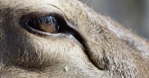 Deer eye -blinks - extreme close up