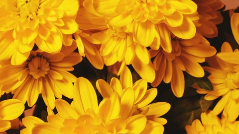 Chrysanthemum Flower background. Smooth rotation.