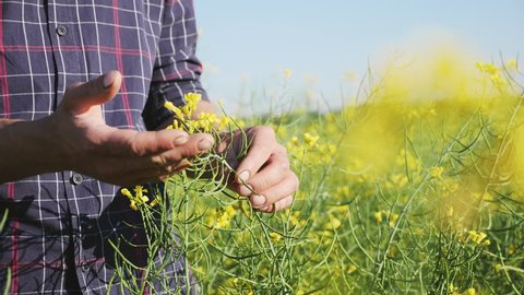 Farmer examining rapeseed blooming plants, male hand of an agronomist in cultivated oilseed rape field, closeup shot