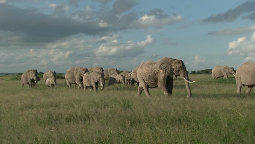 Family of African Elephants (Loxodonta africana) walking through the grasslands of Amboseli N.P., Kenya.