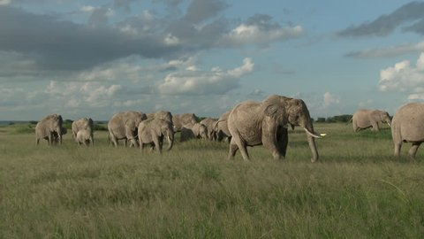 Family of African Elephants (Loxodonta africana) walking through the grasslands of Amboseli N.P., Kenya.