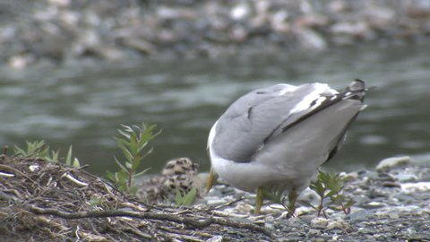 Mew Gull Adult Chick Young Brood Eating in Summer in Alaska