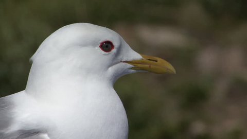 Mew Gull Adult Lone Looking Around in Summer Face in Alaska