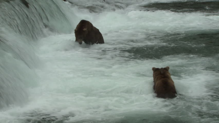 Brown Bear Adult Pair Fighting Battle Aggression in Summer Teeth Mouth in Alaska