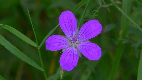 Geranium Pratense In Green Grass