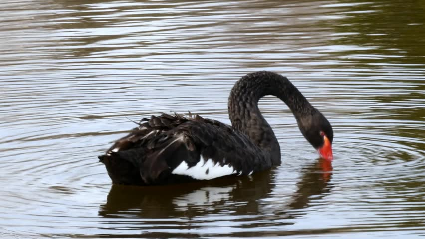 A flock of black swan swims in the summer on the mirror surface of the pond in the park in search of food. Birds in the wild nature. | Shutterstock HD Video #1011392630