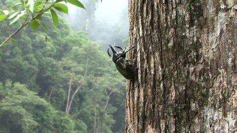 Rhinoceros Beetle male sit on big lowland rainforest tree trunk