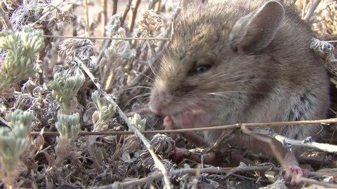 Deer Mouse Lone Eating in Fall in South Dakota
