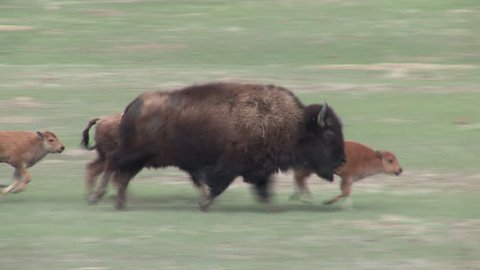 Bison Cow Female Adult Calf Young Several Running in Spring Stampede in South Dakota