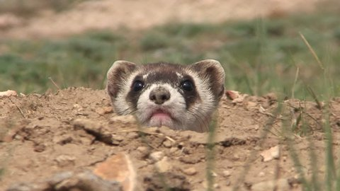 Black-footed Ferret Adult Lone Alarmed Nervous Wary in Fall Face Burrow Hole Head in South Dakota