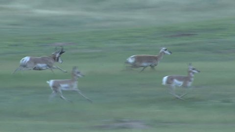 Pronghorn Antelope Buck Doe Adult Young Several Running in Summer in South Dakota