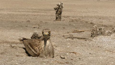 The Eurasian stone curlew occurs throughout Europe, north Africa and southwestern Asia. It is a summer migrant in the more temperate European and Asian parts of its range, wintering in Africa.