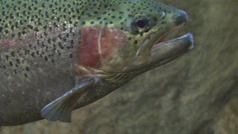 Rainbow Trout Adult Lone Yawning Open Mouth in Spring
