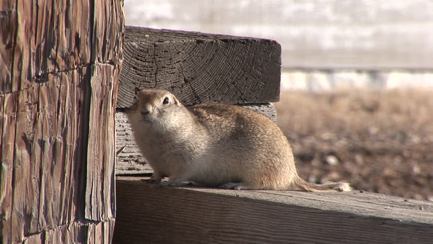 Richardsons Ground Squirrel Adult Lone Alarmed Nervous Wary in Winter in North Dakota