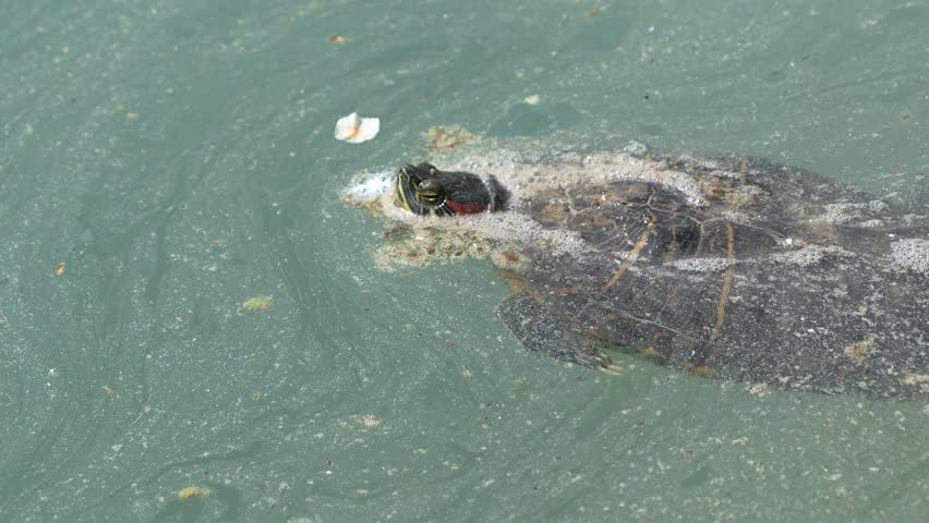 turtle in dirty, contaminated water #1011461600