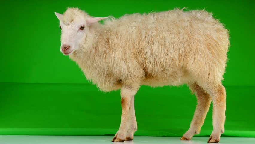 sheep stand on the green screen   Shutterstock HD Video #1011465440