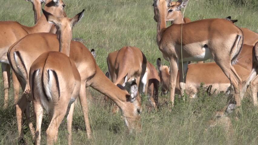 Impala, Herd of Impala, Serengeti, Tanzania, Africa   Shutterstock HD Video #1011469040