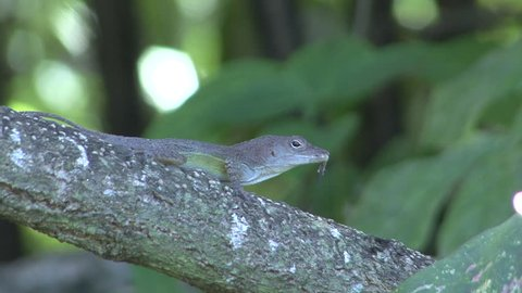 Anole Adult Lone Resting in Summer Branch in Jamaica
