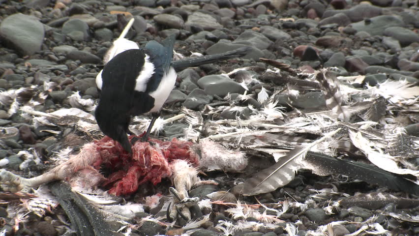 Black-billed Magpie Lone Eating Scavenging in Fall Carrion Carcass Dead Osprey in Wyoming