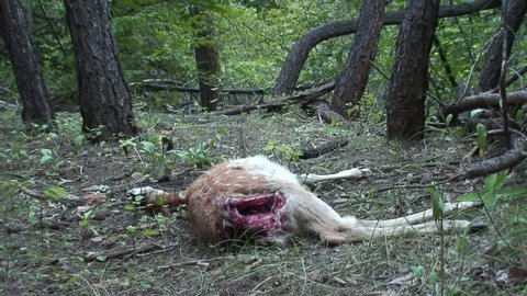 Red Fox Adult Lone Foraging in Fall Carcass Carrion Dead Fawn in South Dakota