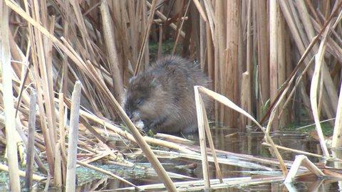 Muskrat Adult Lone Eating Chewing in Spring in South Dakota