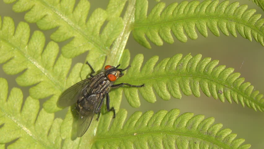 A fly (Delia radicum) with red eyes cleans its wings on a fern leaf