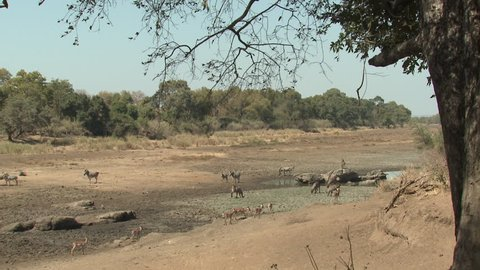 Waterbuck Adult Immature Several Drinking Water Dry Season Dry Riverbed Drought in South Africa