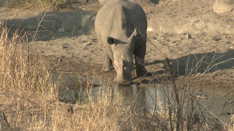 White Rhinoceros Bull Male Adult Lone Drinking Water Dry Season in South Africa