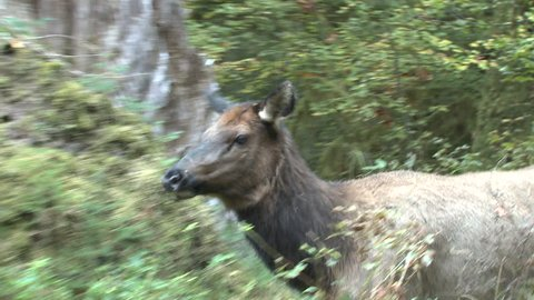 Elk Cow Female Adult Pair Walking in Fall Crossing in Washington