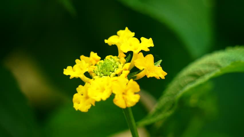 Close-up footage of a yellow Lantana Camara flower
