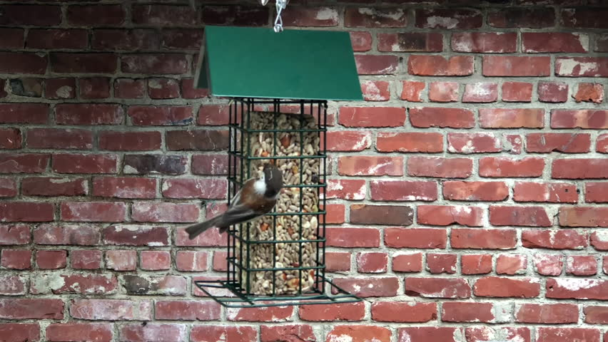 4K HD Video of one male sparrow bird eating from a bird feeder, another sparrow lands and gets chased away. Sparrows are a family of small passerine birds. They are also known as true sparrows