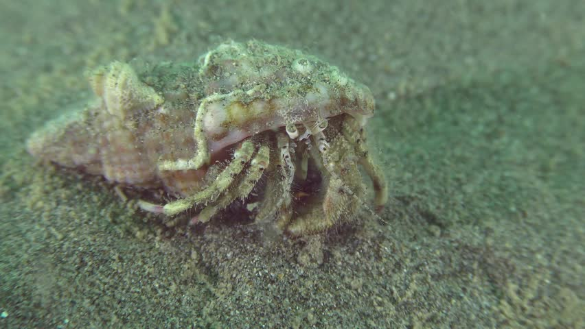 Small hermit crab (Diogenes pugilator) sits on a sandy bottom and stirs the antennae.
