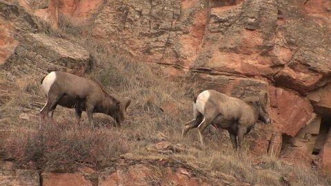 Bighorn Sheep Ram Male Adult Pair Fighting Battle Aggression in Fall Head Butt Horns in South Dakota