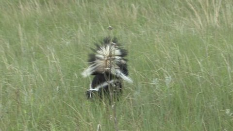 Striped Skunk Adult Lone Foraging in Summer in South Dakota